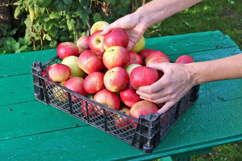 Pommes distinctes de femme d'agriculteur dans la boîte en plastique photographie stock