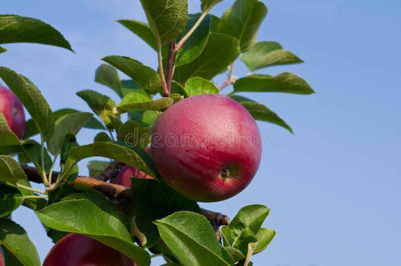 Pommes et pommiers image stock