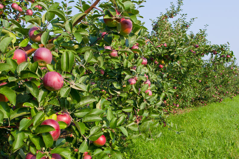 Pommes et pommiers images libres de droits