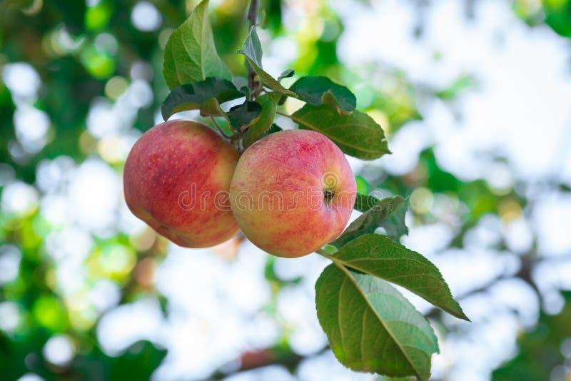 Pommes fraîches sur des pommiers photo stock