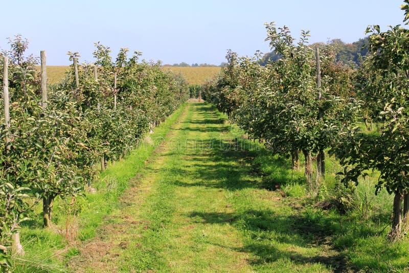 Pommes jaunes et rouges organiques dans le champ de pommiers photos libres de droits