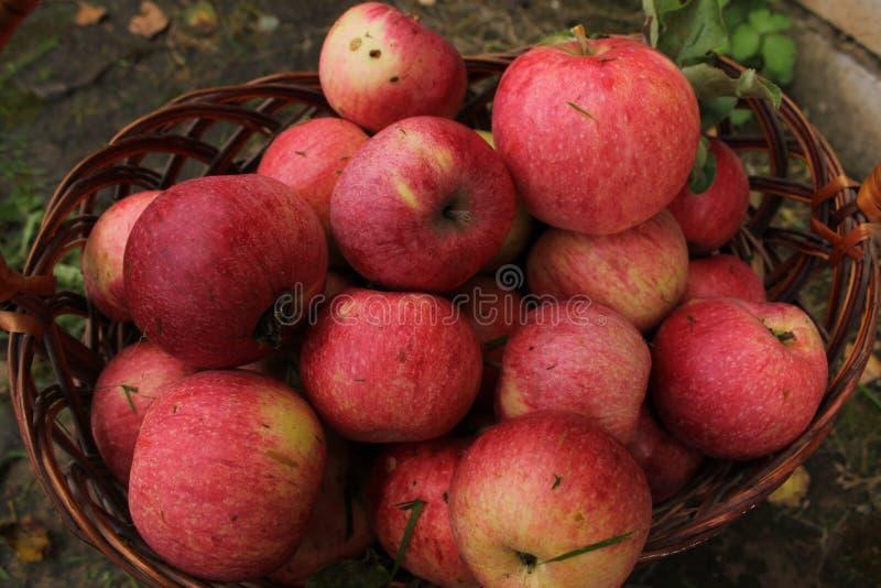 Pommes juteuses mûres rouges fraîches dans un panier en osier en bois de natul image libre de droits