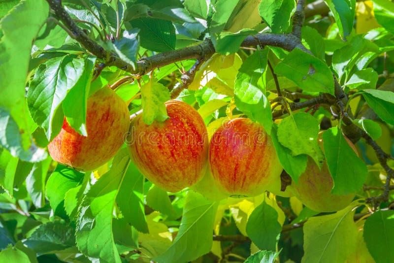 Pommes mûres à l'arbre images stock