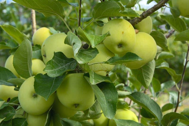 Pommes mûres organiques accrochant sur une branche d'arbre dans un champ de pommiers photos stock
