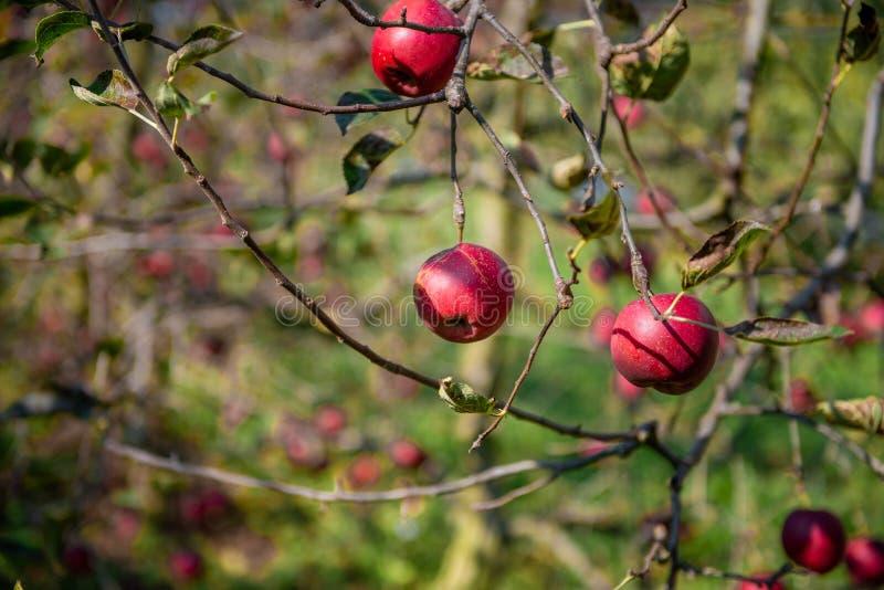 Pommes mûres sur l'arbre images libres de droits