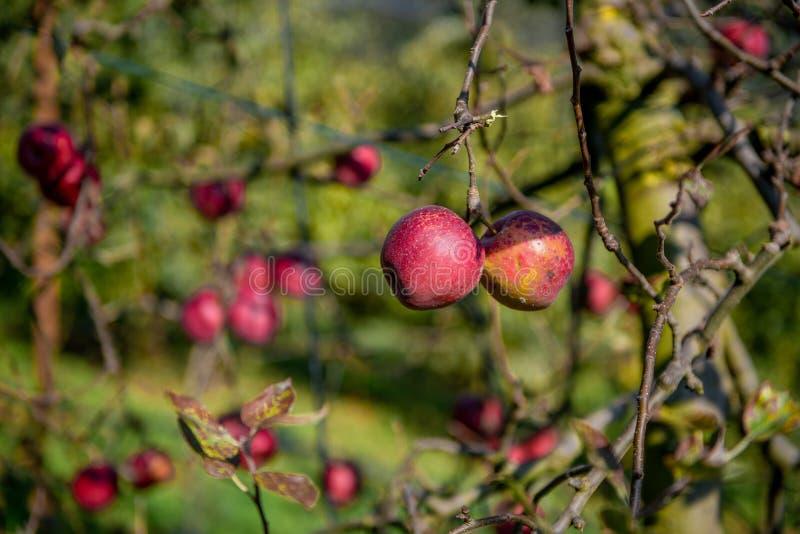 Pommes mûres sur l'arbre photographie stock libre de droits