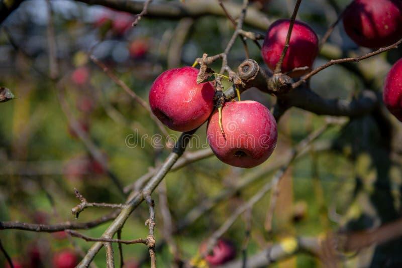 Pommes mûres sur l'arbre image stock