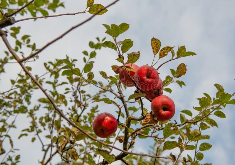 Pommes mûres sur l'arbre images stock