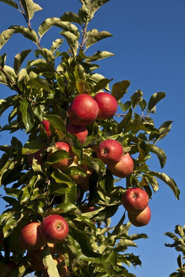 Pommes mûres sur un branchement d'arbre photographie stock