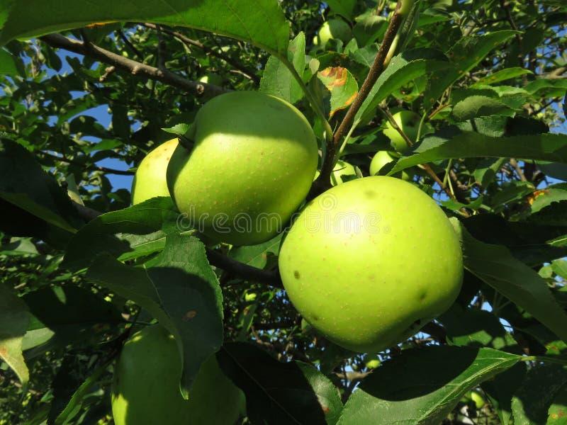 Pommes mûres vertes d'été prêtes pour la sélection photo stock