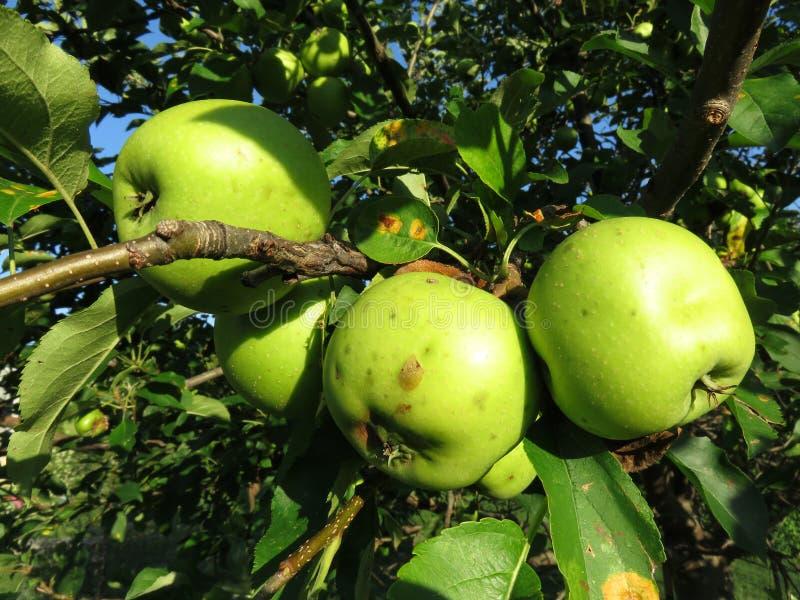 Pommes mûres vertes prêtes pour la cueillette en juillet image libre de droits