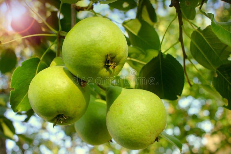 Pommes mûres vertes sur la branche de l'arbre Plan rapproché des pommes organiques fraîches avec les feuilles vertes Jardin ensol images stock