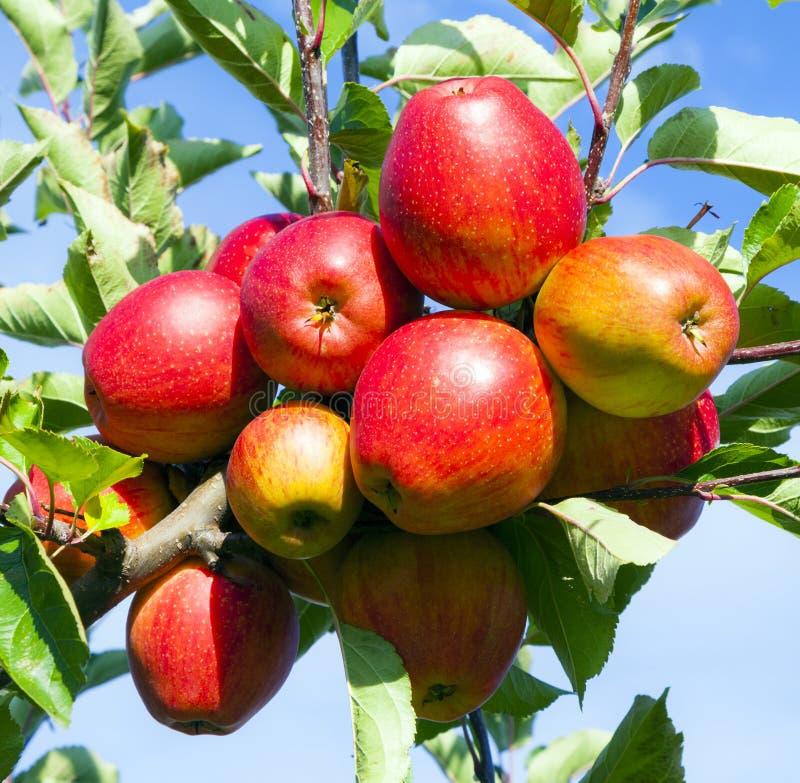 Pommes mûres à l'arbre image libre de droits