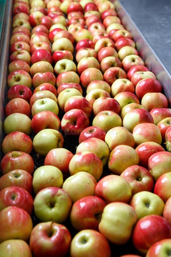 Pommes mûres étant traitées et transportées pour l'emballage photographie stock