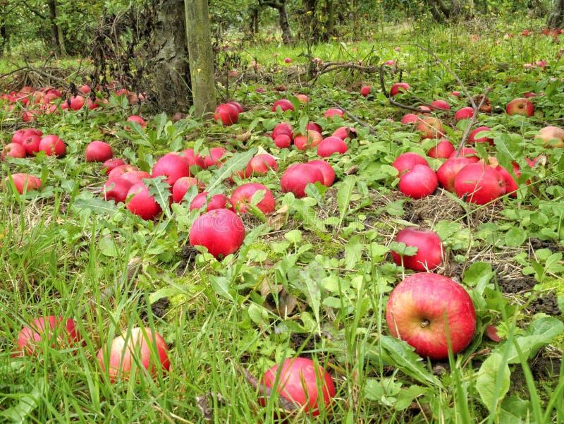 Pommes mûres et putréfiées rouges sous l'arbre dans le verger anglais image stock
