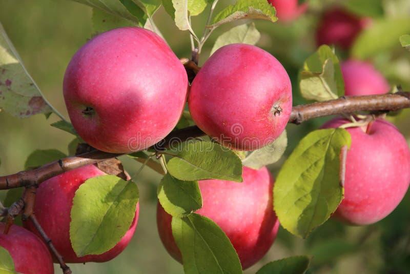 Download Pommes mûres sur l'arbre image stock. Image du juteux - 76083295