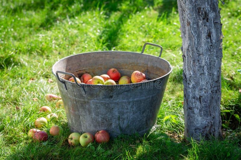 Pommes moissonnées et lavées dans le jardin d'été photos libres de droits