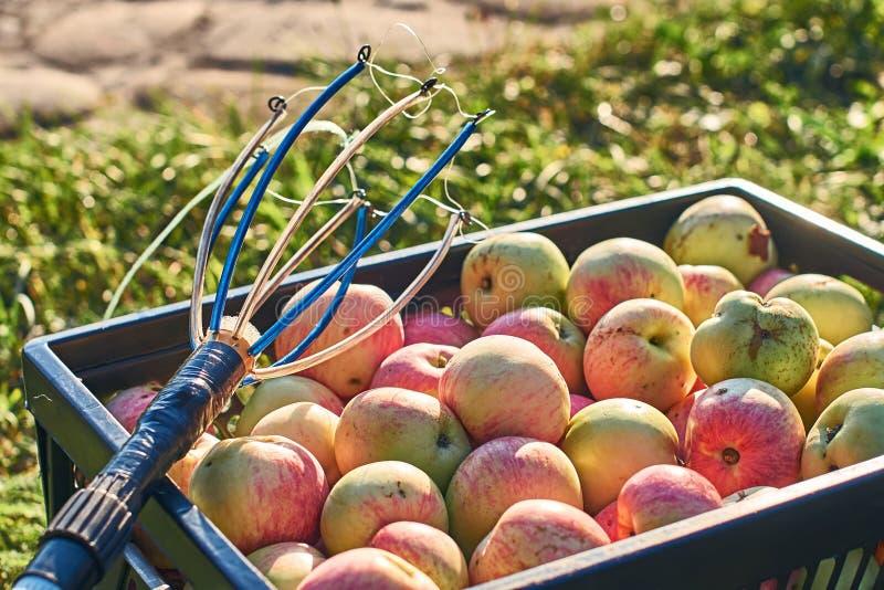 Pommes moissonnées fraîches dans la caisse et un outil de cueillette de fruit photographie stock libre de droits