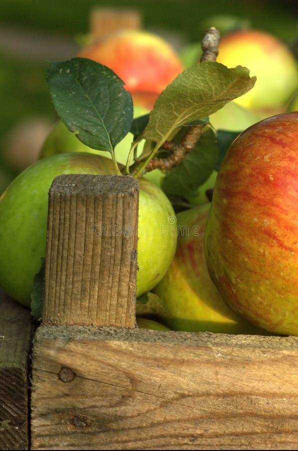 Pommes organiques dans la caisse photos libres de droits