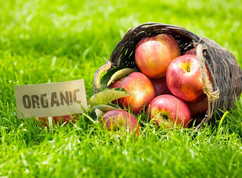 Pommes organiques fraîches dans un panier photos libres de droits