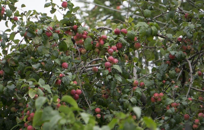 Pommes organiques pendant d'une branche d'arbre dans un champ de pommiers images libres de droits