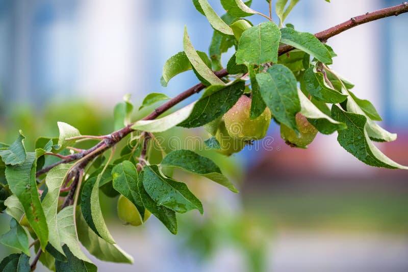 Pommes organiques pendant d'une branche d'arbre dans un champ de pommiers photos stock