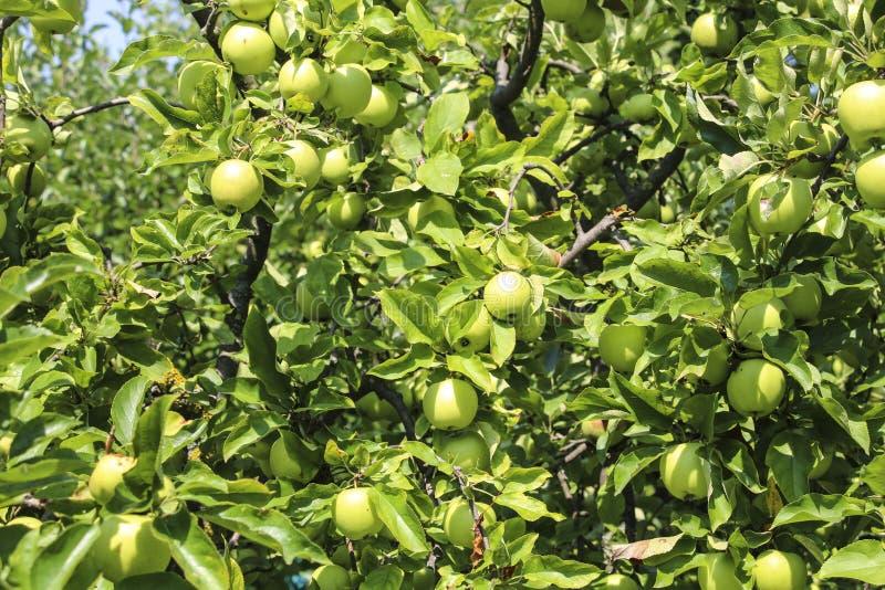 Pommes organiques pendant d'une branche d'arbre dans un champ de pommiers image stock