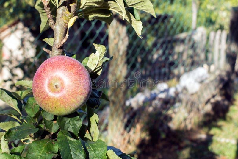 Pommes organiques pendant d'une branche d'arbre dans un champ de pommiers photos libres de droits