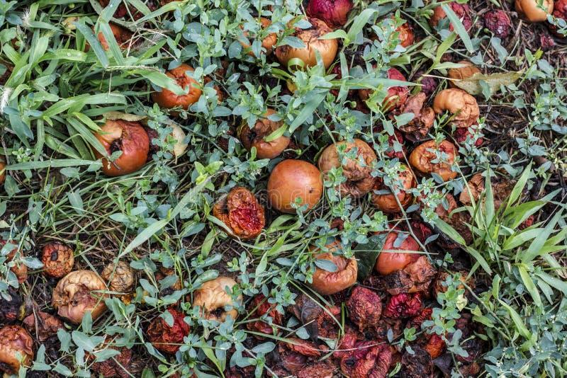 Pommes putréfiées dans l'herbe images libres de droits