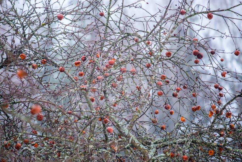 Pommes putréfiées sur un arbre photographie stock