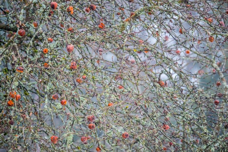 Pommes putréfiées sur un arbre images libres de droits