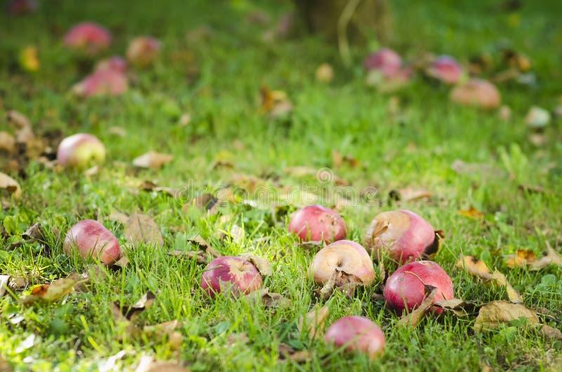 Pommes putréfiées tombées dans l'herbe images libres de droits