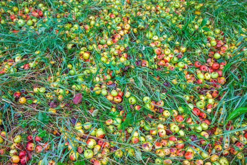 Pommes putréfiées tombées sur l'herbe dans le jardin images stock
