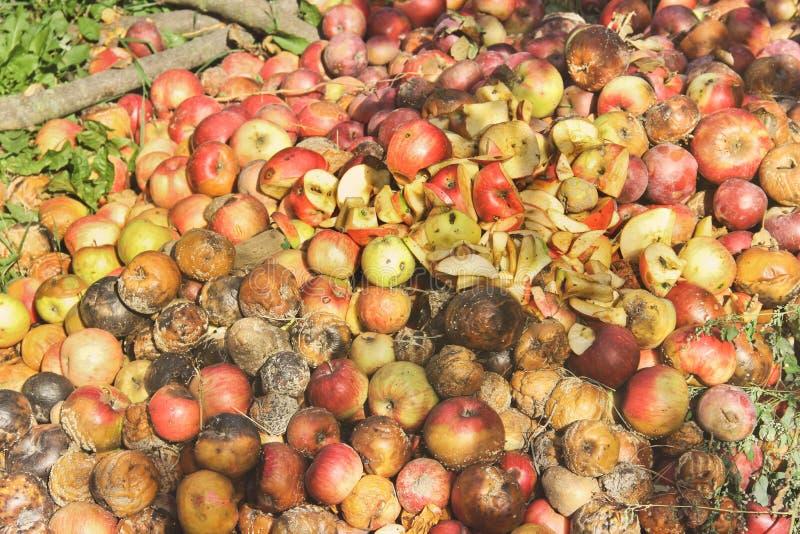 Pommes putr?fi?es dans le jardin images stock