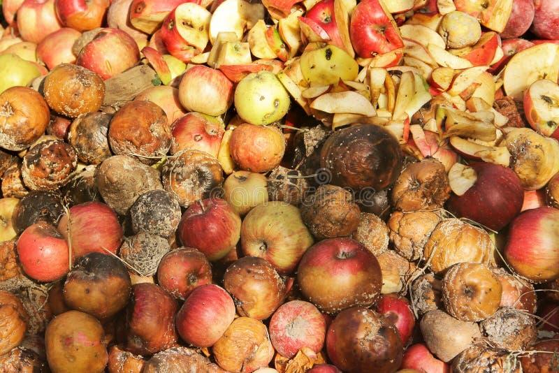 Pommes putr?fi?es dans le jardin photo libre de droits