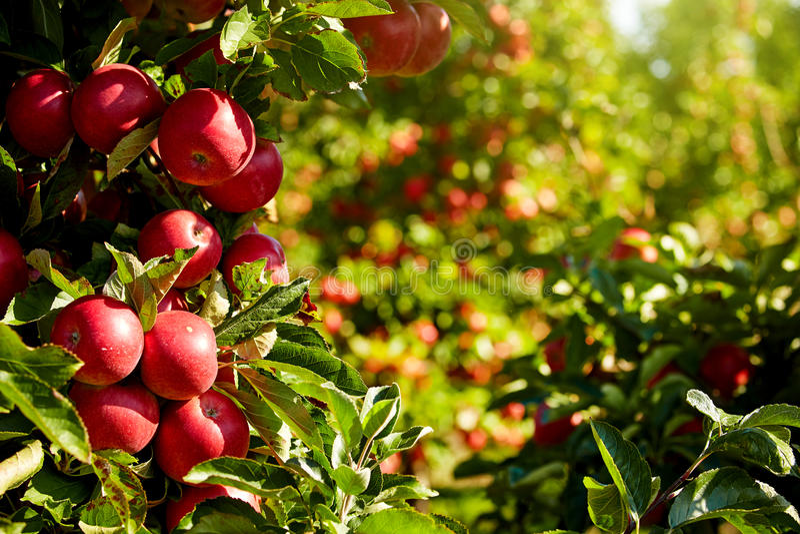 Pommes rouges dans le verger photo libre de droits