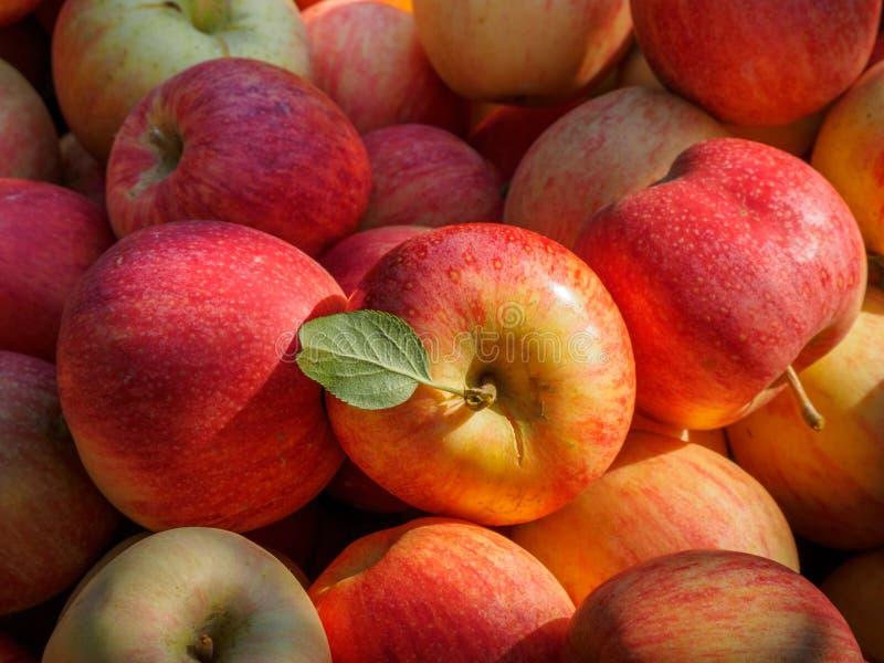 Pommes rouges, Gala royal, à la campagne photo stock
