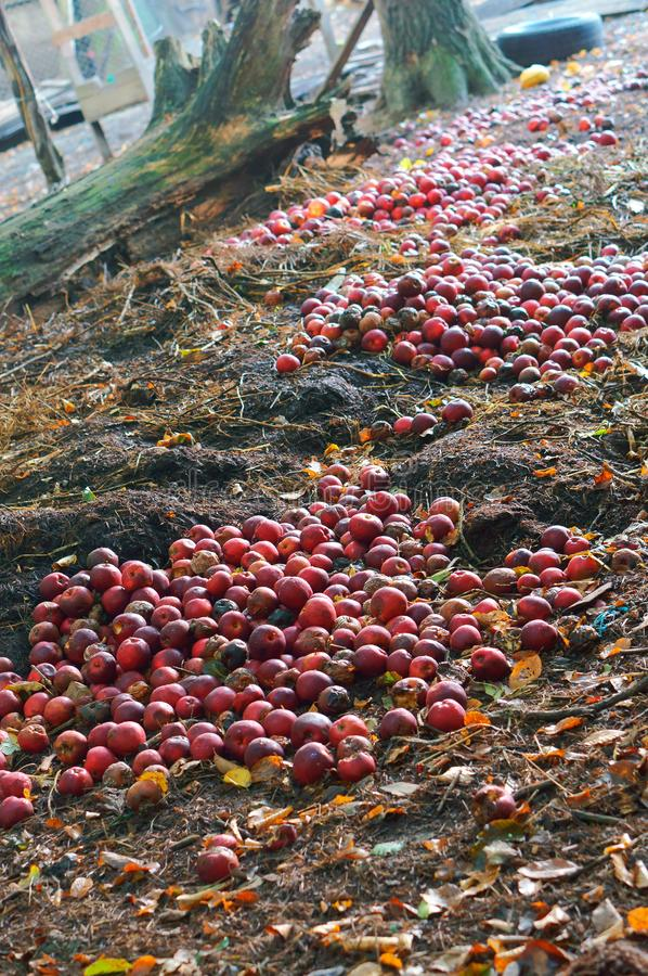 Pommes rouges jetées pour se décomposer, groupe de pommes rouges au sol photographie stock libre de droits