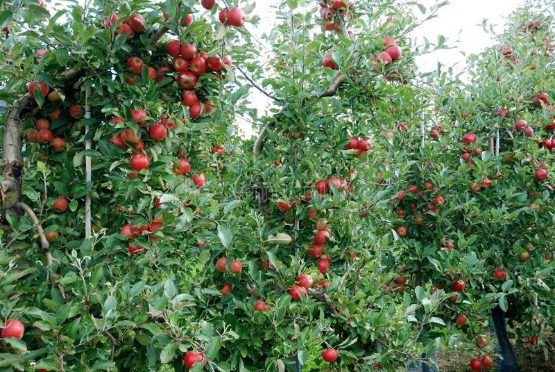 Pommes rouges mûres dans un champ de pommiers images libres de droits