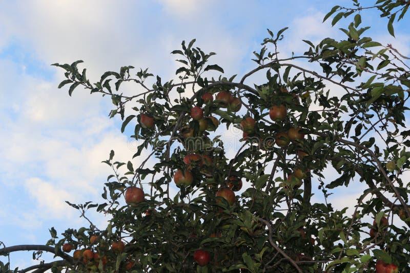 Pommes rouges mûries dans le jardin photo libre de droits