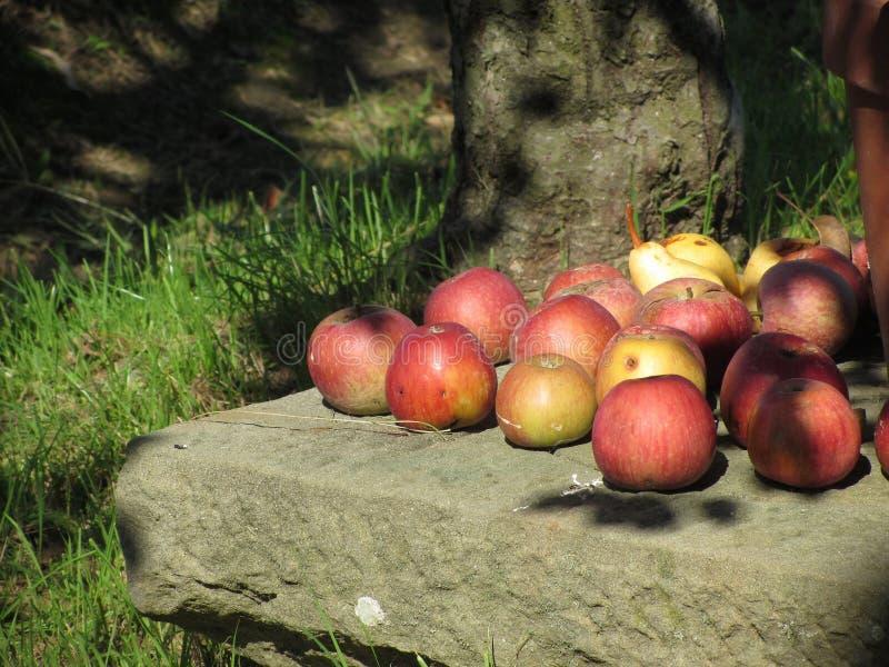 Pommes rouges organiques et poires jaunes fixant sur une pierre Les fruits sont illuminés par la lumière d'été de matin photos libres de droits