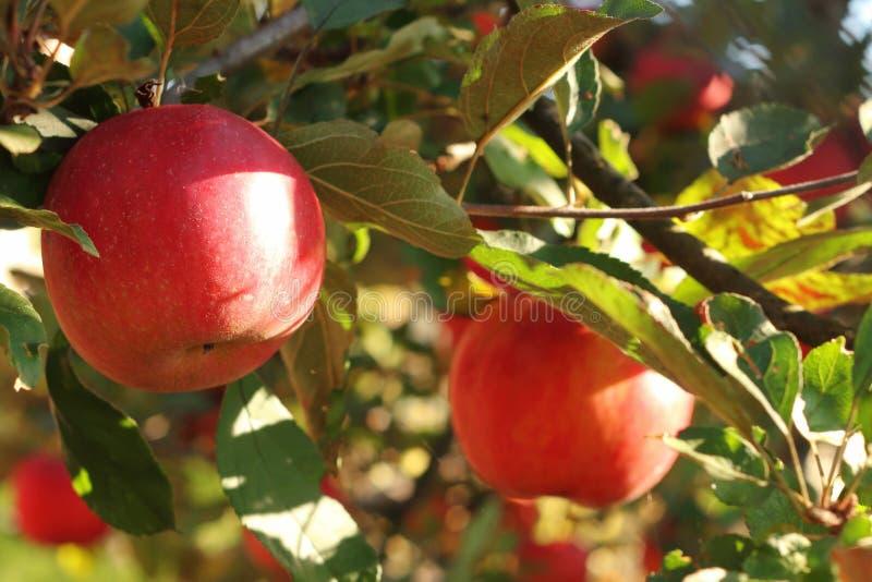 Pommes rouges sur l'arbre dans le verger avec le gala royal de sunlights, Fuji, dame rose images libres de droits