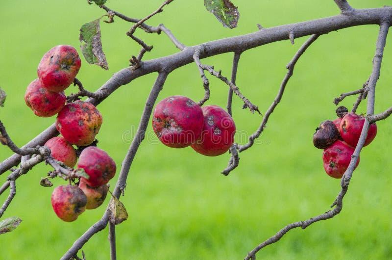 Pommes rouges sur la branche photos stock