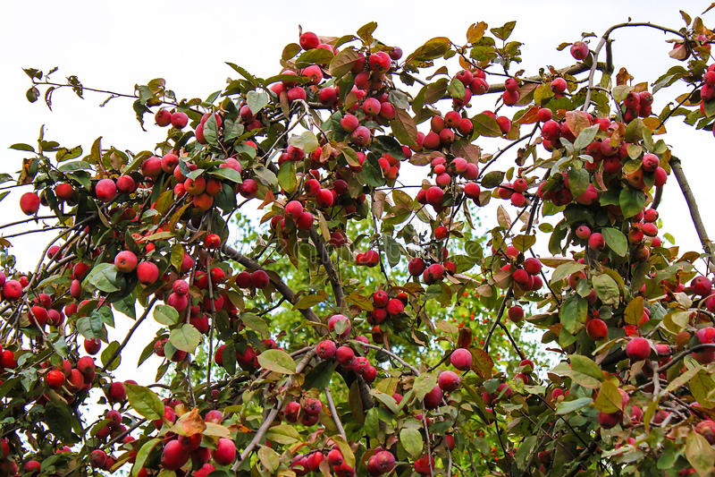 Pommes rouges sur le pommier, une récolte d'été image stock