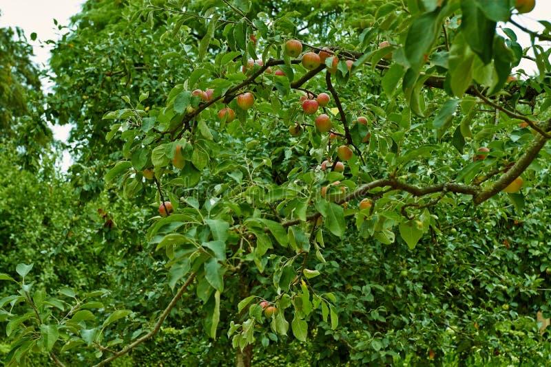 Pommes rouges sur une branche d'un pommier Les Pays-Bas, juillet photo stock