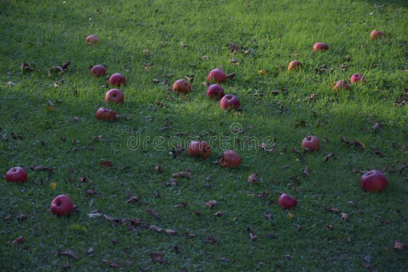 Pommes rouges tombées se trouvant sur l'herbe verte le soir photo stock