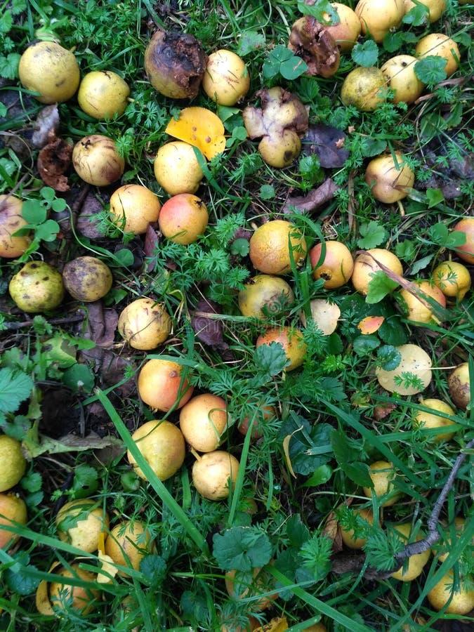 Pommes sauvages et putréfiées sur l'herbe photo stock