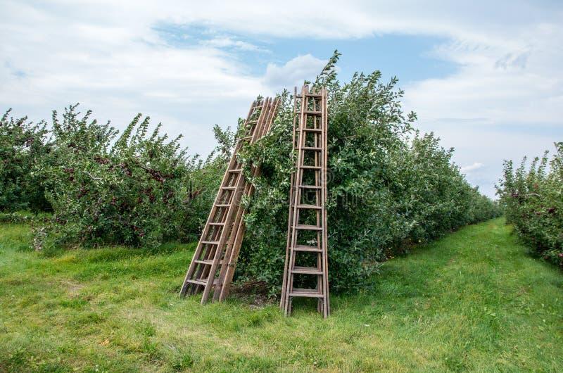 Pommes sur des arbres dans un verger photo stock