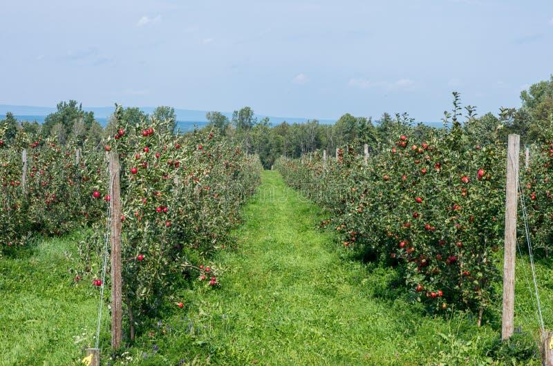 Pommes sur des arbres dans un verger images libres de droits