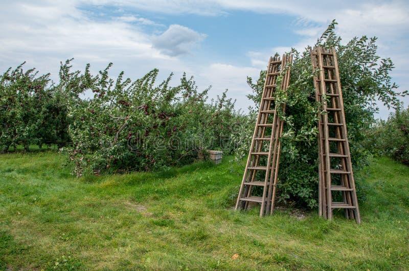 Pommes sur des arbres dans un verger photos libres de droits
